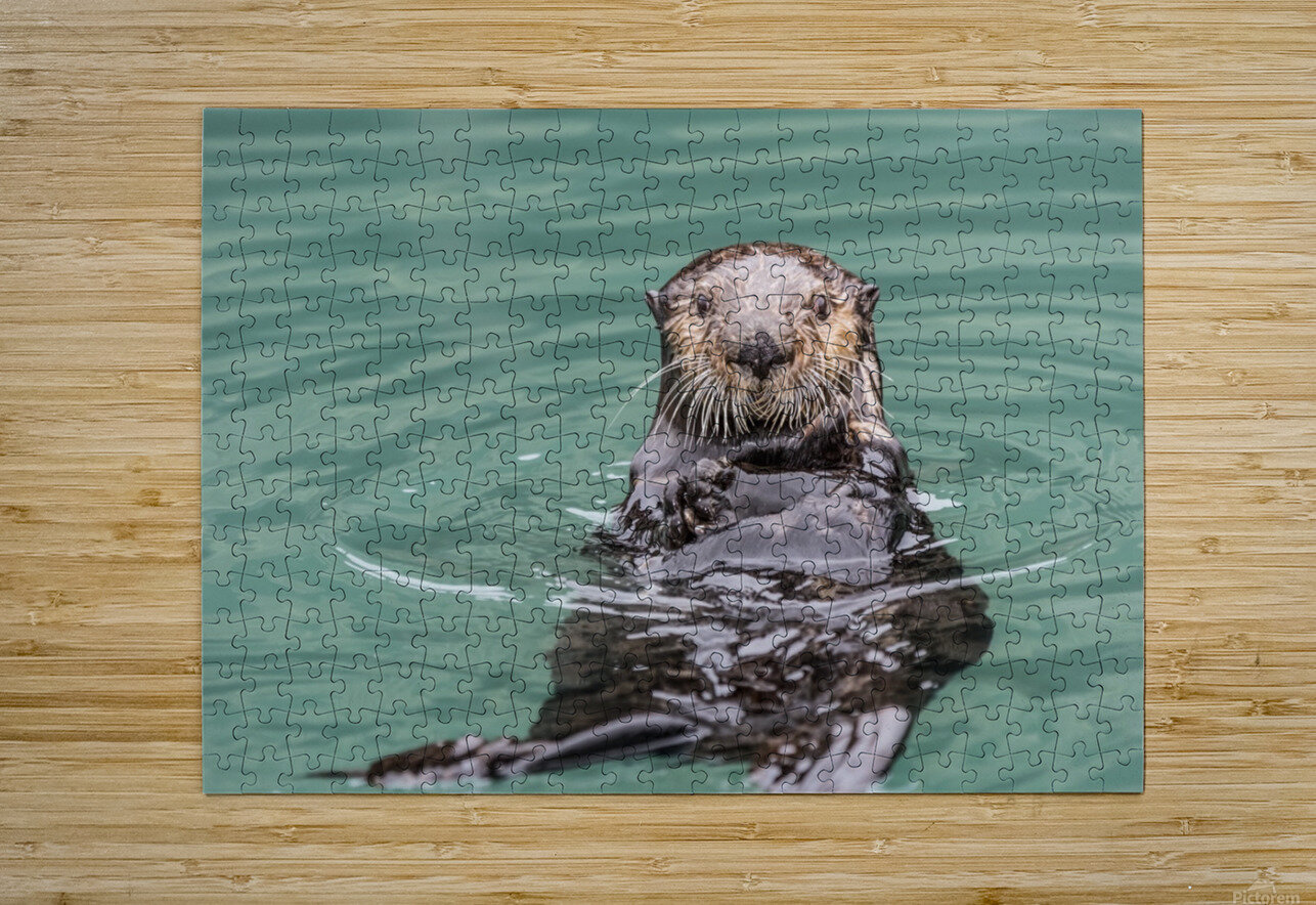 Close-up of a Sea Otter (Enhydra lutris) floating on it's back, looking towards the camera, South-central Alaska; Seward, Alaska, United States of America  HD Metal print with Floating Frame on Back