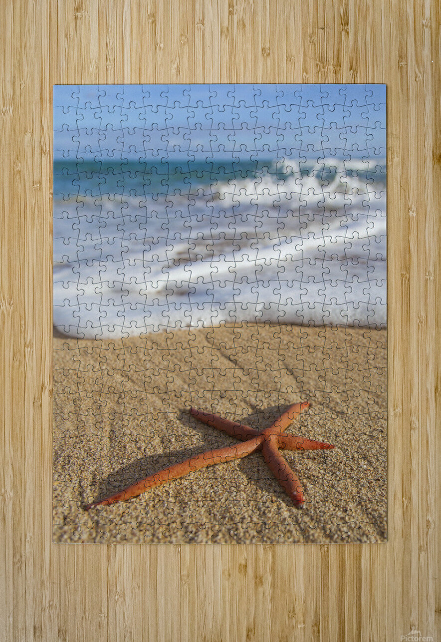 A red live Finger Starfish, also known as Linckia Sea Star, found along a sandy beach with white ocean tide washing up; Honolulu, Oahu, Hawaii, United States of America  HD Metal print with Floating Frame on Back