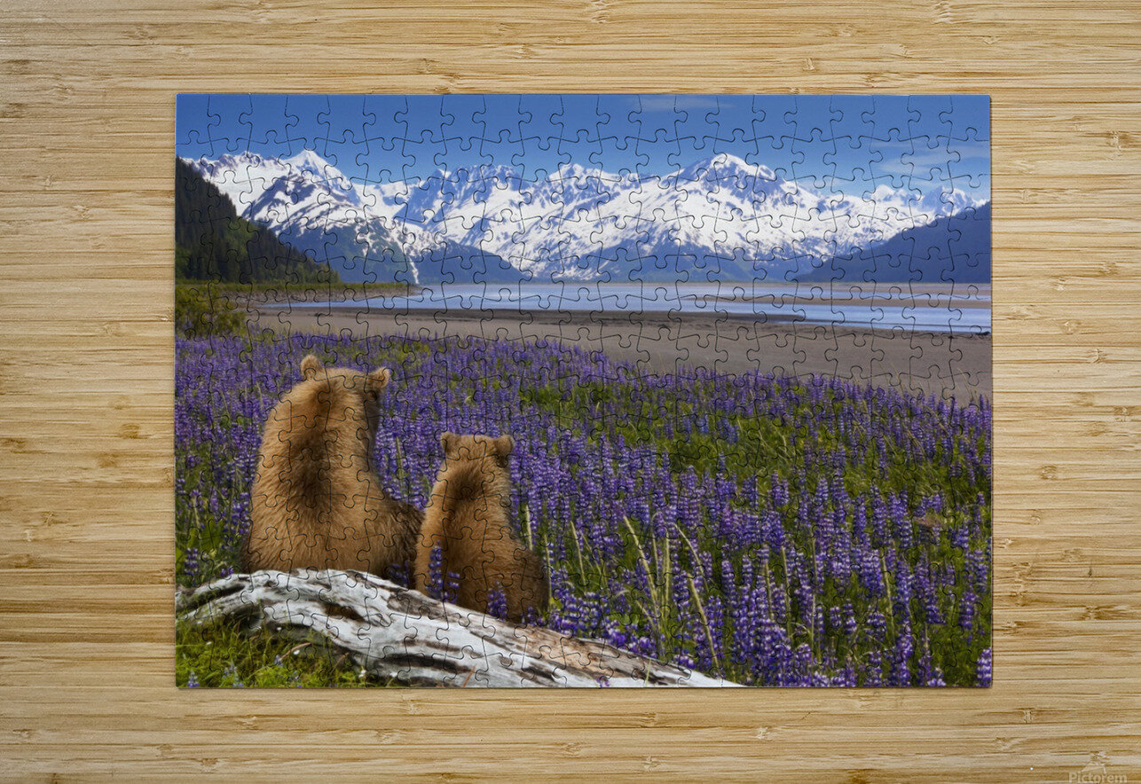 COMPOSITE: Grizzly Sow & cub sit in lupine along Seward Highway, Turnagain Arm, Southcentral Alaska  HD Metal print with Floating Frame on Back