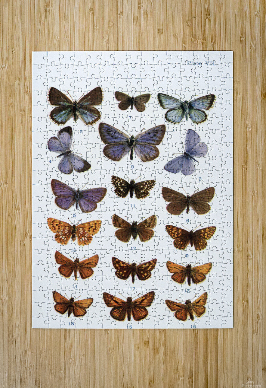 Different types of butterflies. Illustration by W.S.Furneaux. From the book Butterflies, Moths and Other Insects and Creatures of the Countryside. Published 1927.  HD Metal print with Floating Frame on Back