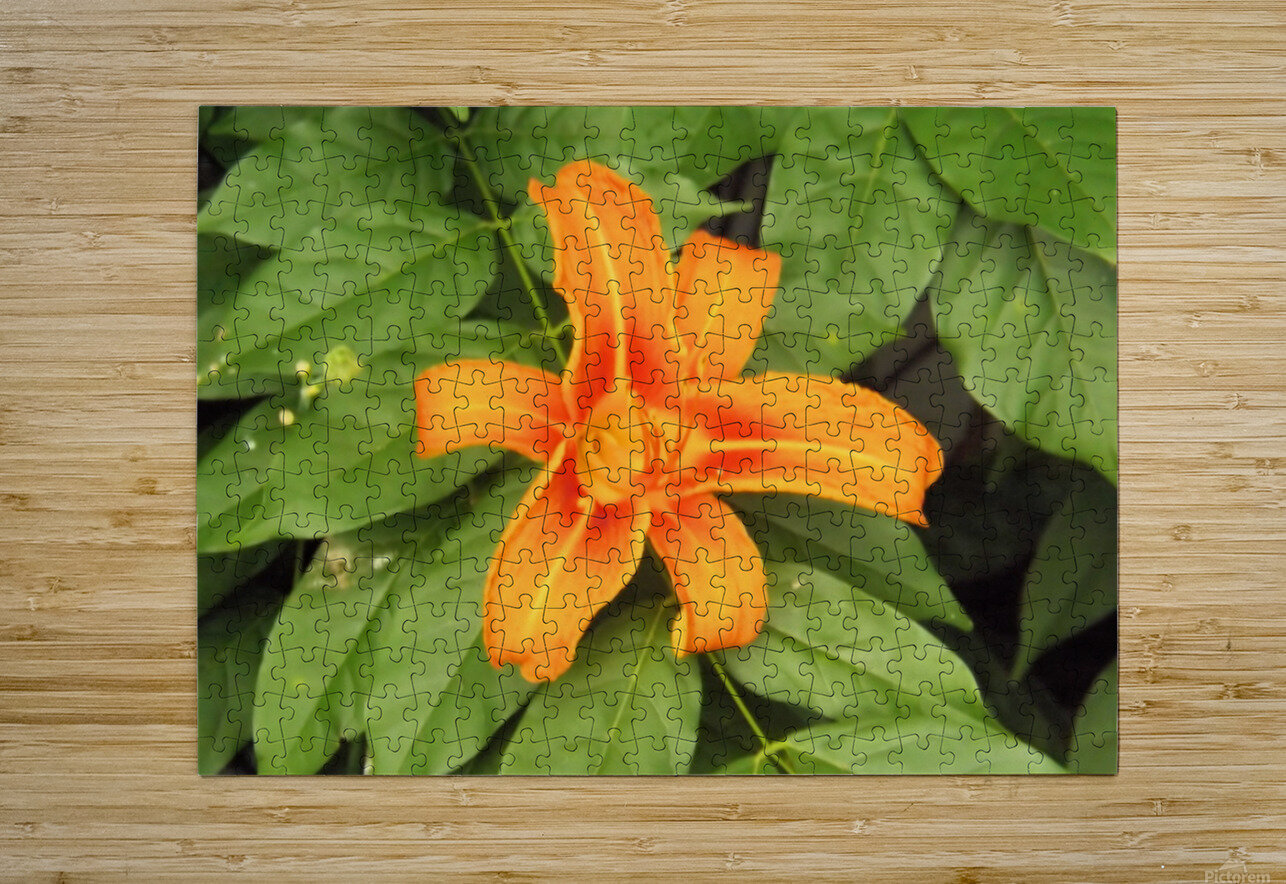 Orange Lilly 1  HD Metal print with Floating Frame on Back