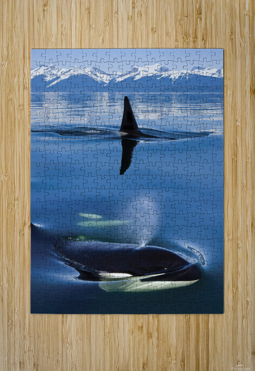 Composite: Close Up Of Orca Whales As They Surface In Lynn Canal With The Coast Range Mountains In The Background, Inside Passage, Southeast Alaska  HD Metal print with Floating Frame on Back