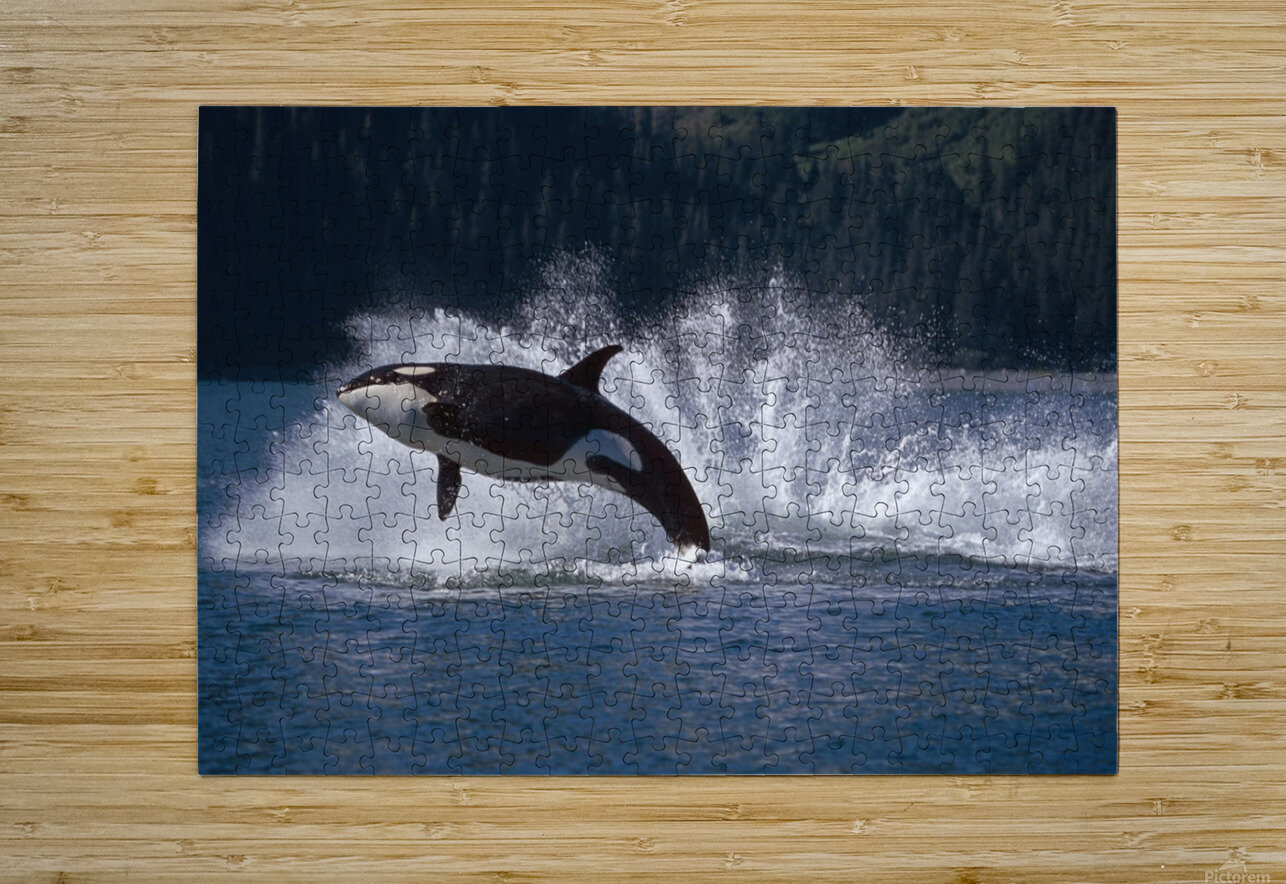 Double Breaching Orcas Bainbridge Passage Prince William Sound Alaska Summer Southcentral  HD Metal print with Floating Frame on Back