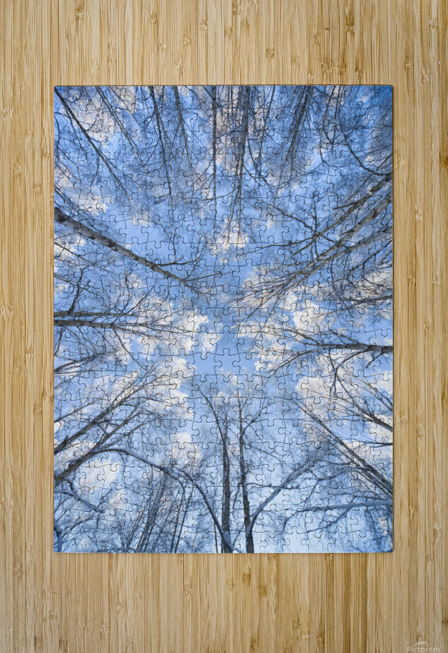 Looking Up Through Hoarfrost Covered Birch Trees In Russian Jack Park, Anchorage, Alaska  HD Metal print with Floating Frame on Back