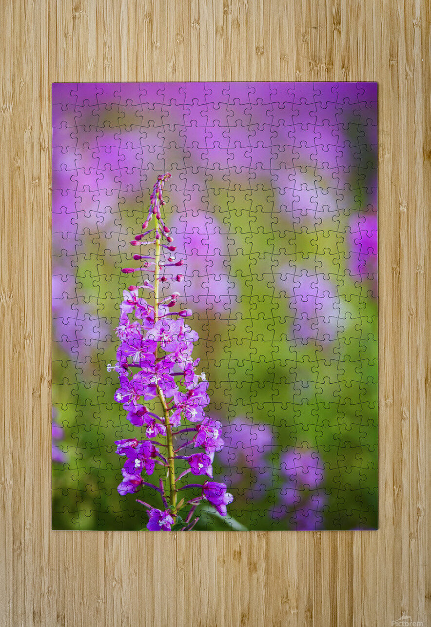Fireweed Detail Near Anchor Point On The Kenai Peninsula In Southcentral Alaska.  HD Metal print with Floating Frame on Back