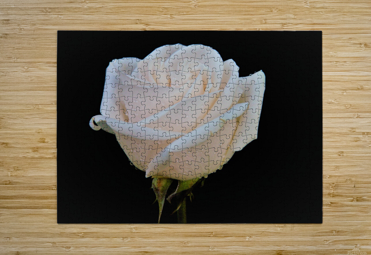 Calming rose  HD Metal print with Floating Frame on Back