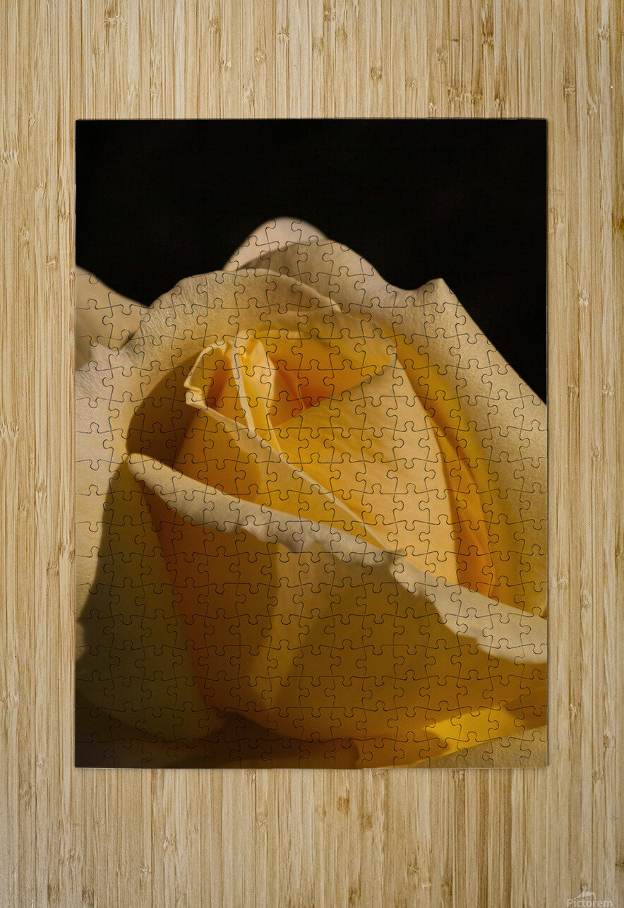 Yellow Rose Close up Single Black Background A010601_1406644  HD Metal print with Floating Frame on Back