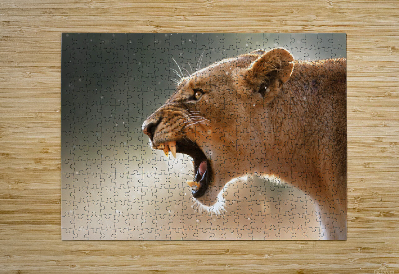 Lioness in the rain  HD Metal print with Floating Frame on Back