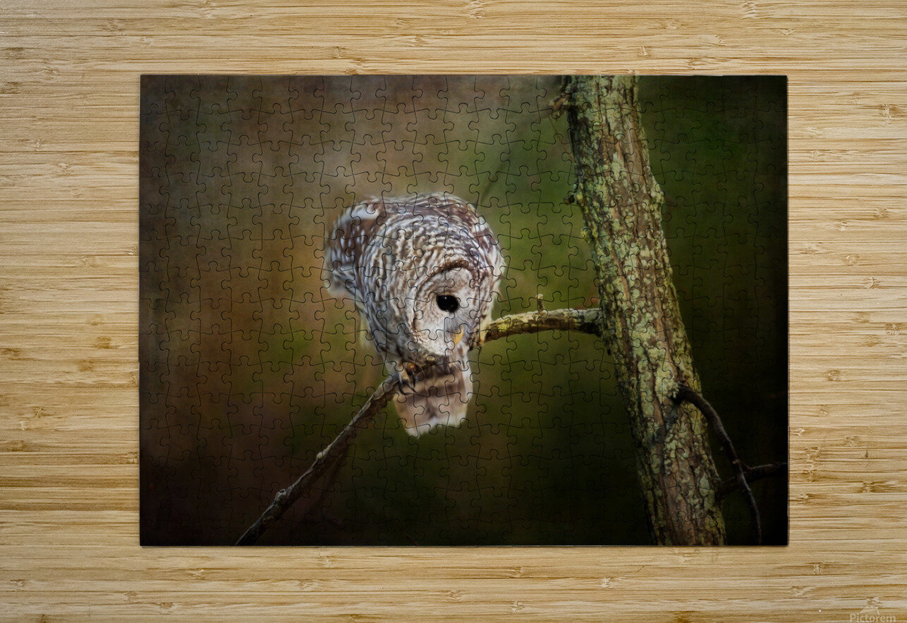 Barred Owl Eyeing Prey.  HD Metal print with Floating Frame on Back