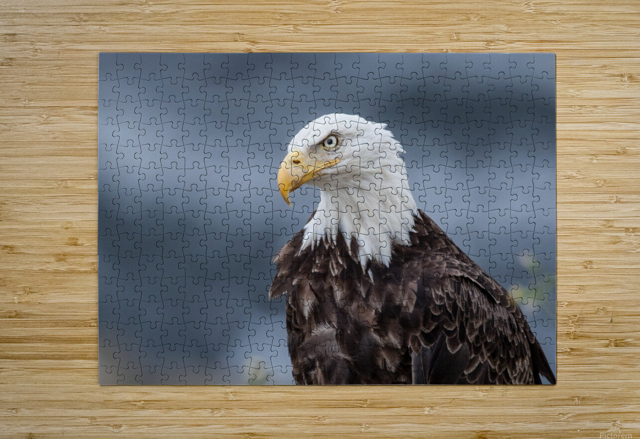 Portrait of an Eagle  HD Metal print with Floating Frame on Back