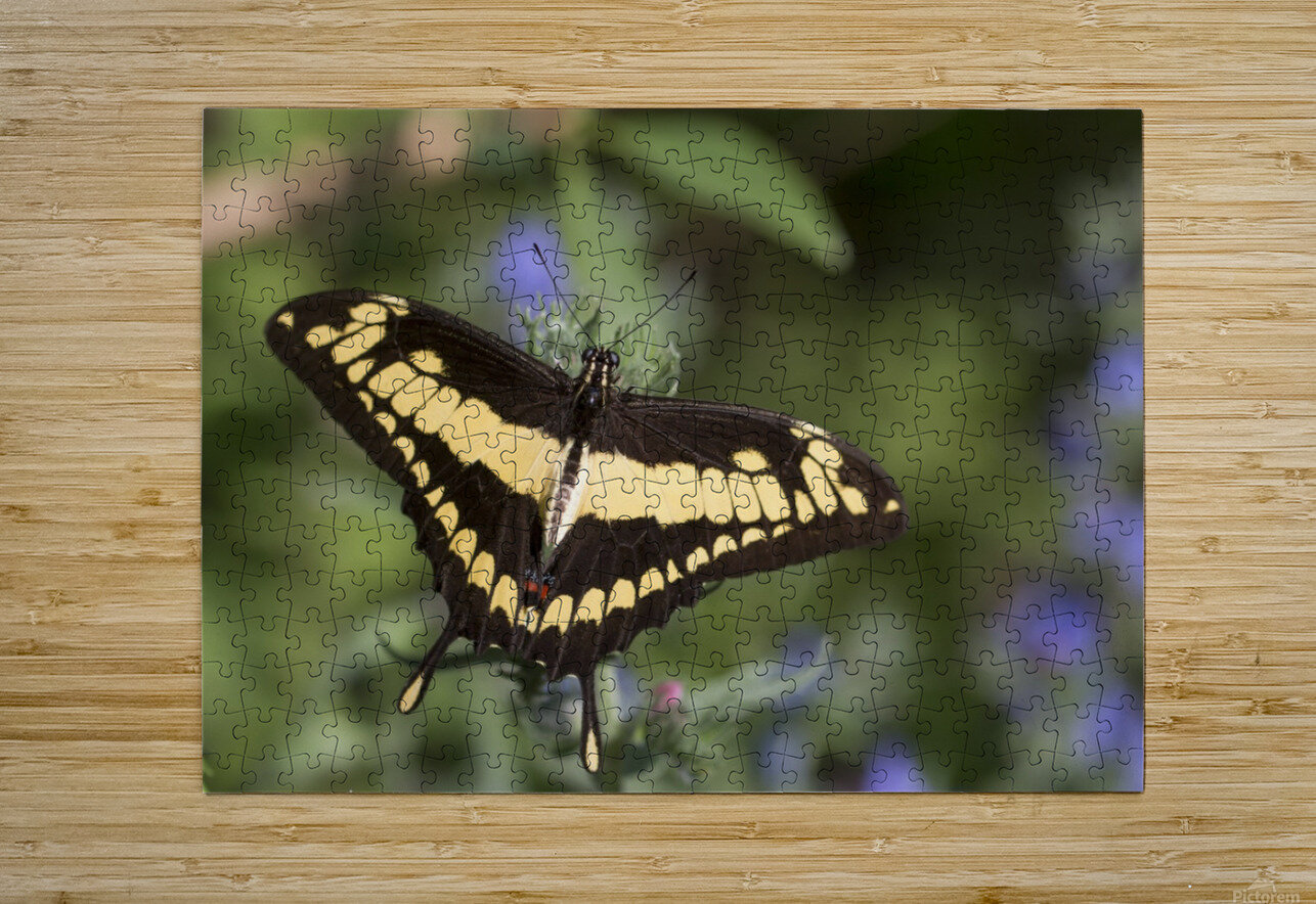 King swallowtail butterfly  HD Metal print with Floating Frame on Back