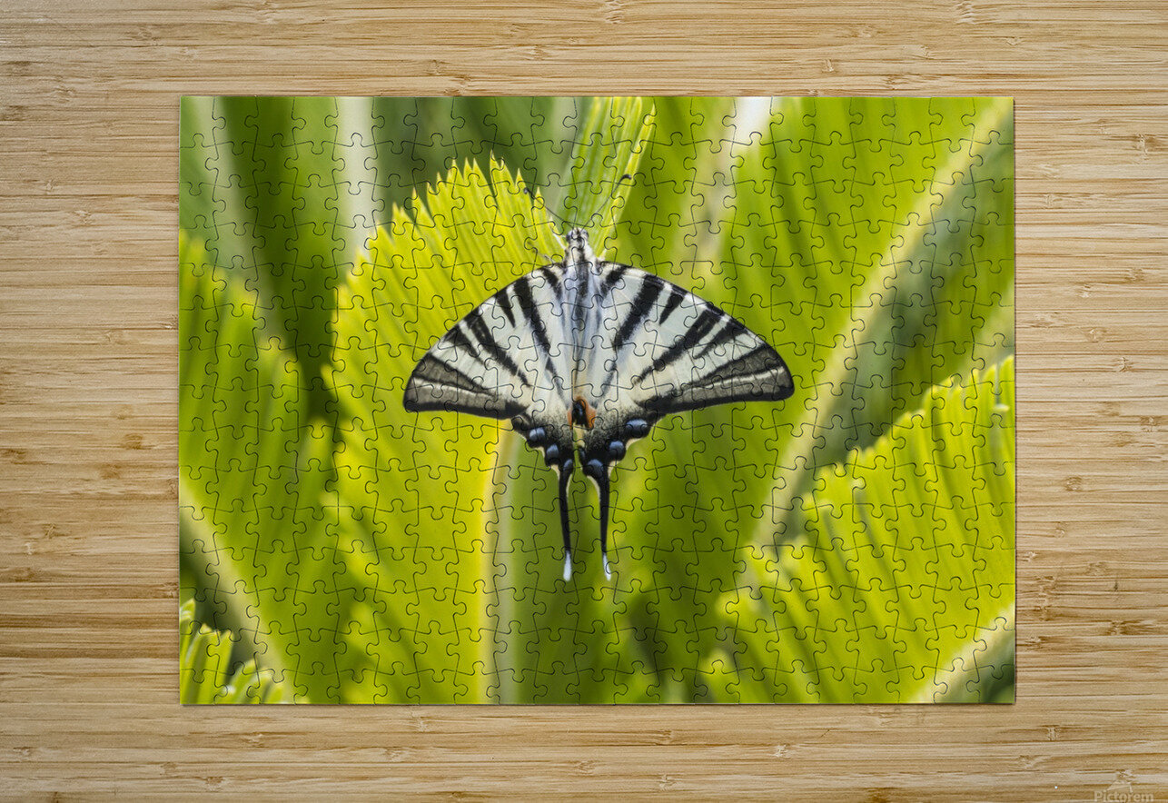 Scarce swallowtail butterfly  HD Metal print with Floating Frame on Back
