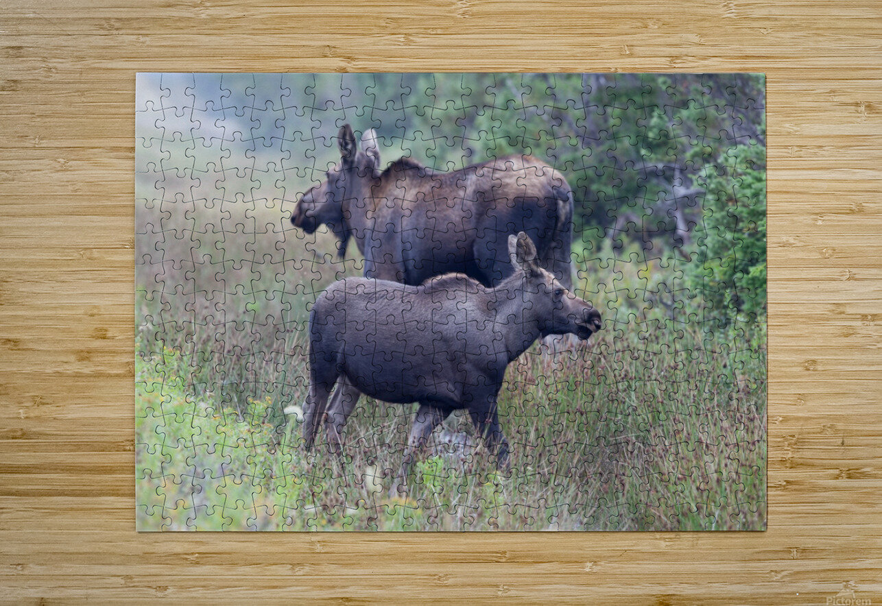 Mom and Calf Moose  HD Metal print with Floating Frame on Back