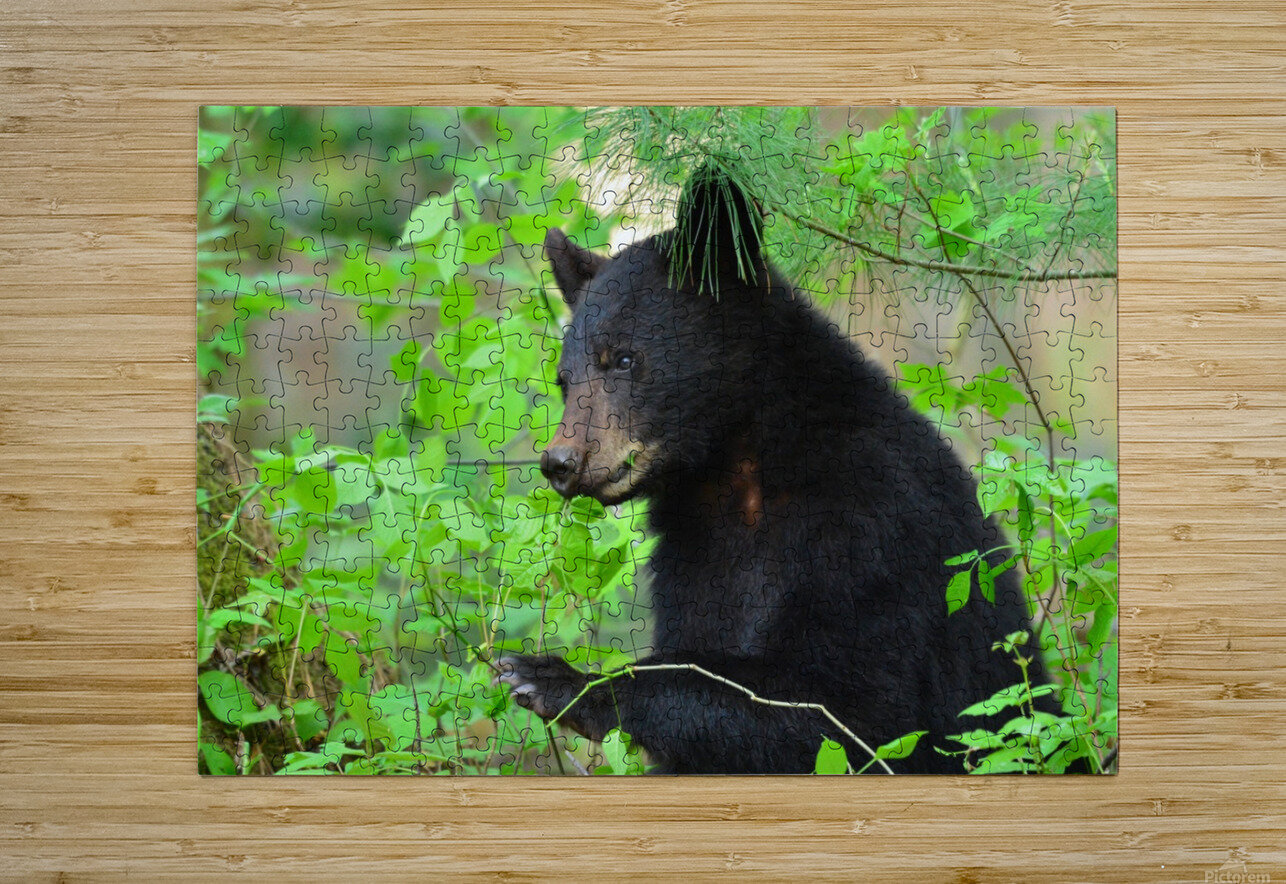 3646-Bear Lunch  HD Metal print with Floating Frame on Back