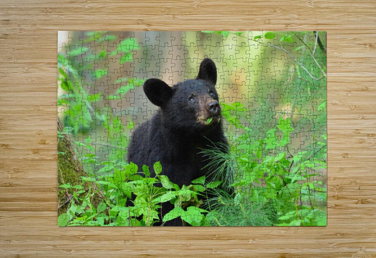 3597-Black Bear  Impression métal HD avec cadre flottant sur le dos