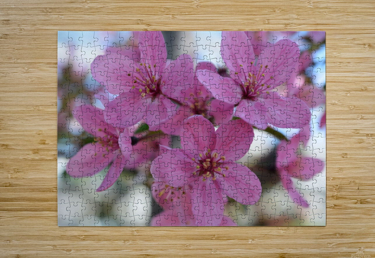 Pink Dogwood Photograph  HD Metal print with Floating Frame on Back