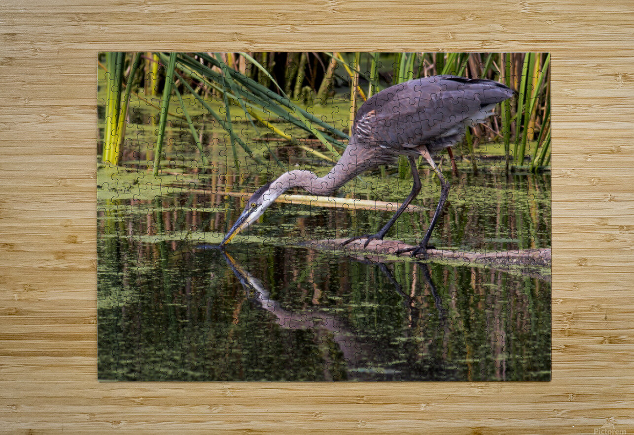 Great Blue Heron taking a Sip  HD Metal print with Floating Frame on Back