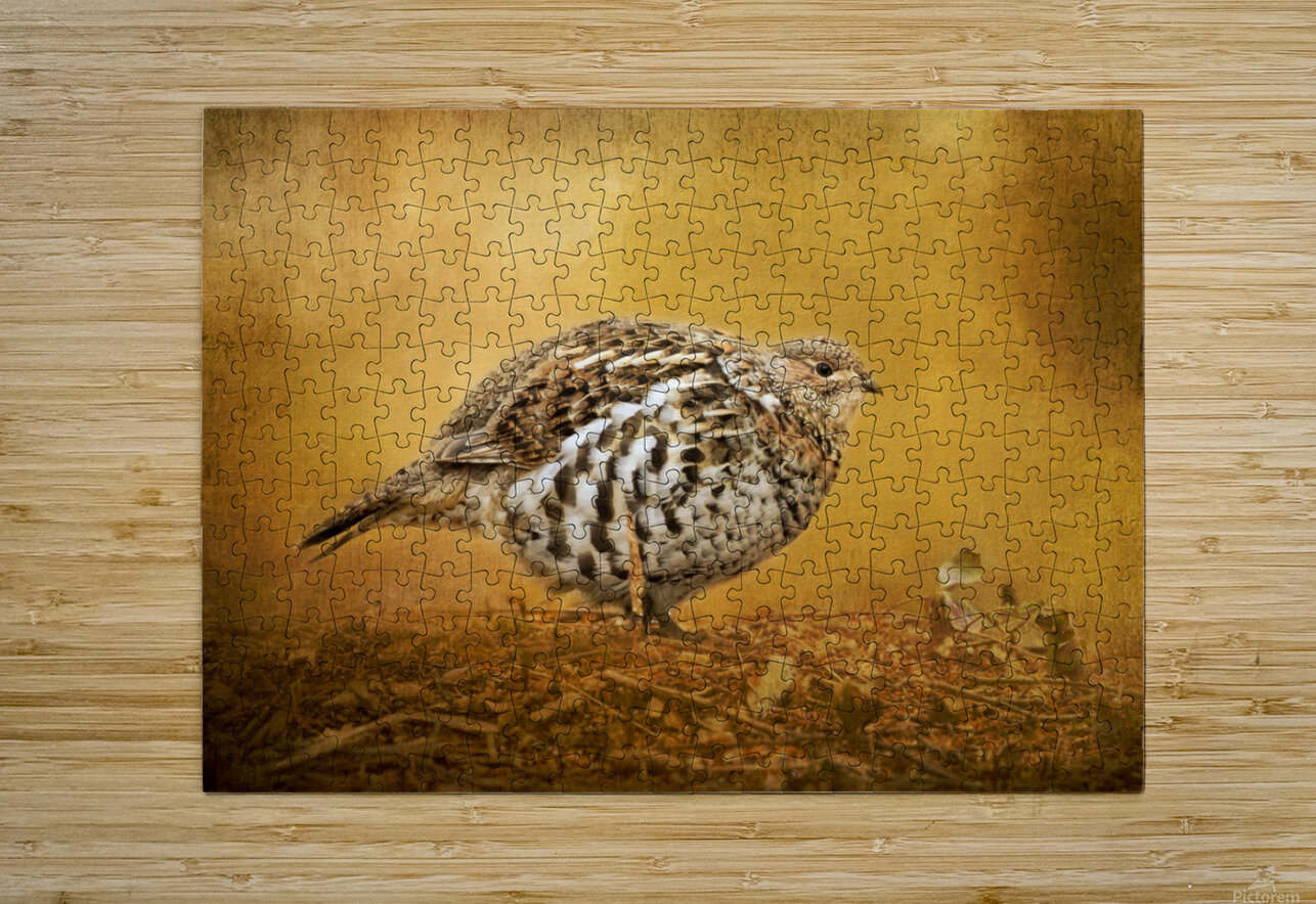 Female Ruffed Grouse  HD Metal print with Floating Frame on Back