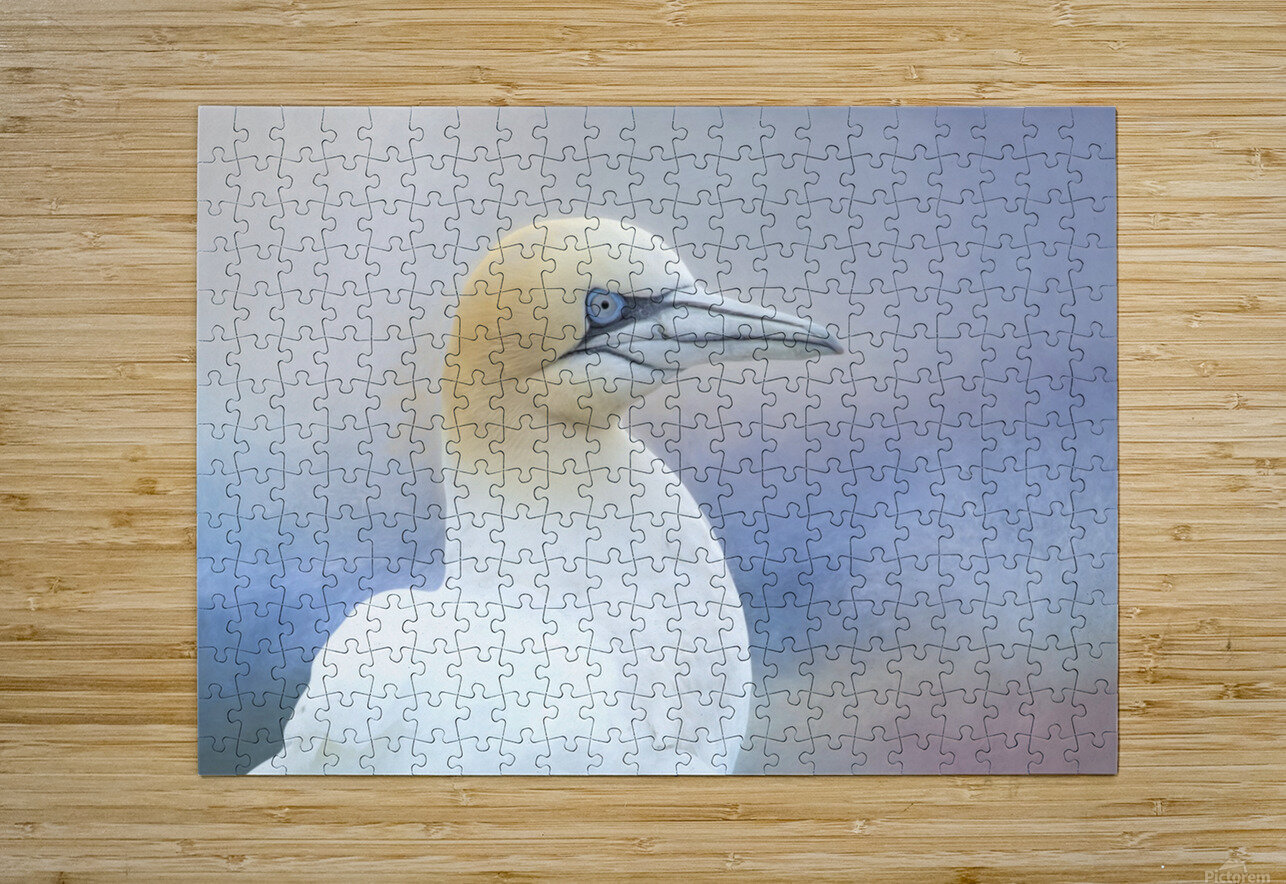 Northern Gannet  HD Metal print with Floating Frame on Back