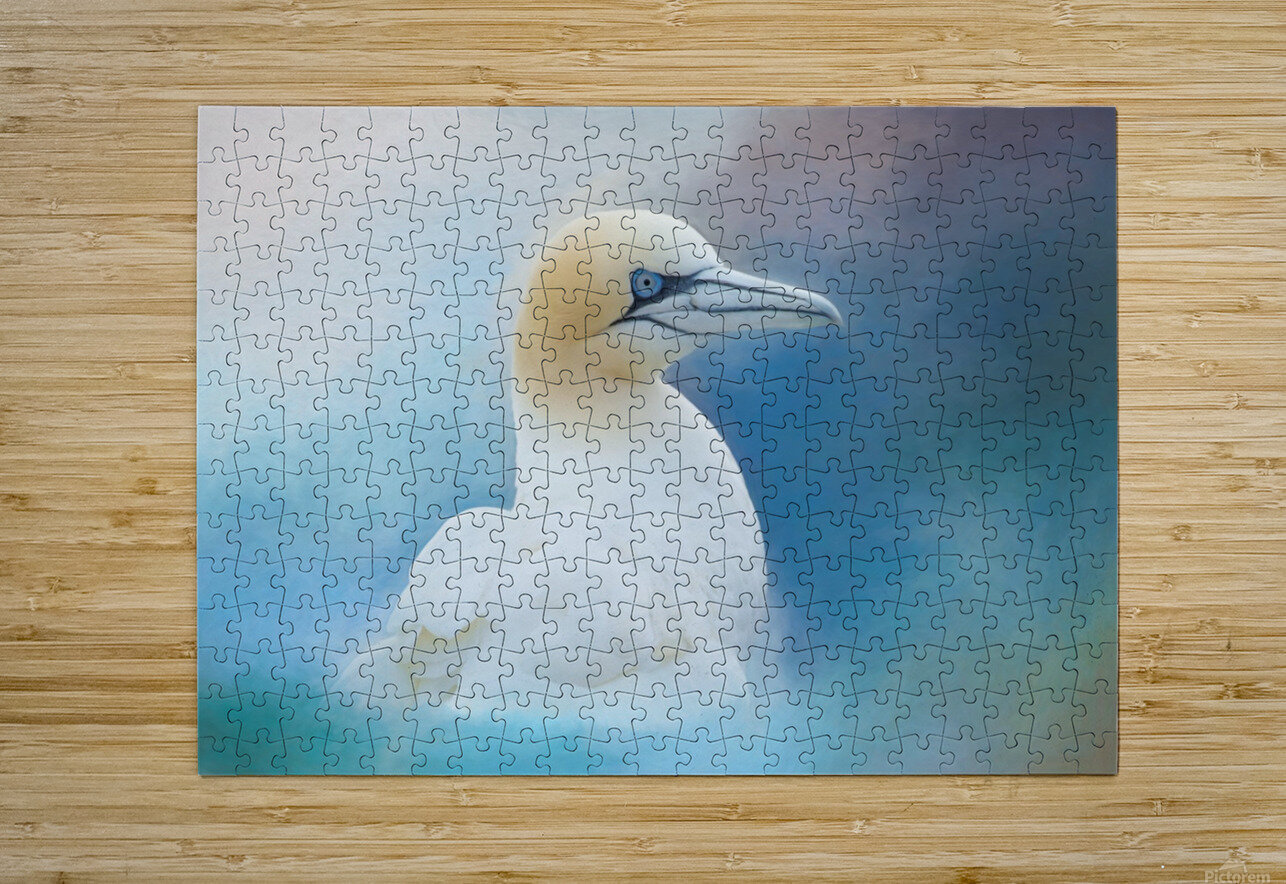 Northern Gannet ver2  HD Metal print with Floating Frame on Back