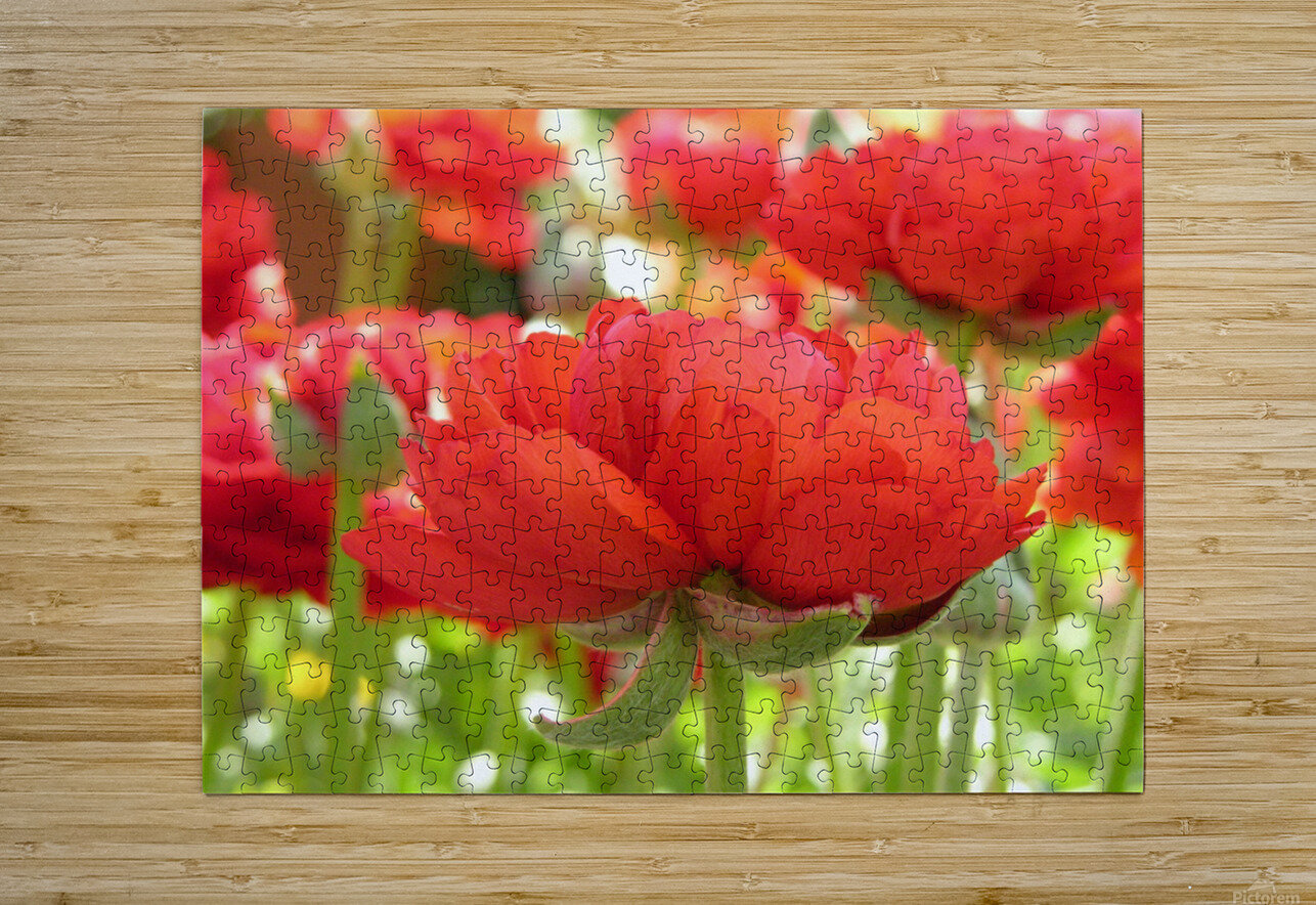 Red Rose Garden Photograph  HD Metal print with Floating Frame on Back