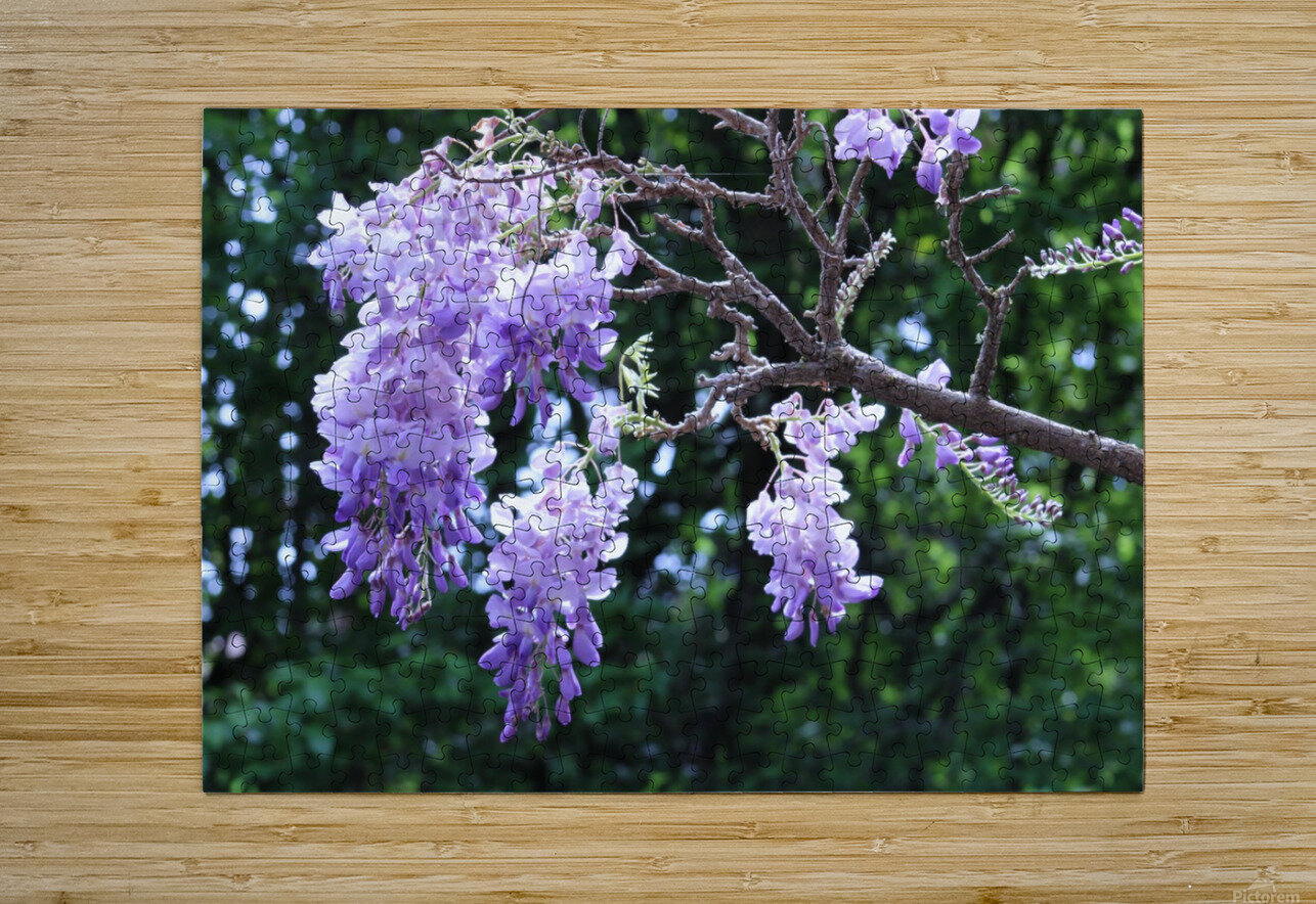 Wisteria  HD Metal print with Floating Frame on Back
