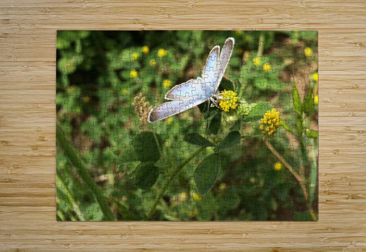 Butterfly on Clover  HD Metal print with Floating Frame on Back