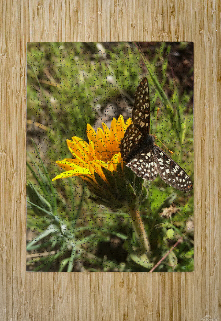 Butterfly on Arrowleaf   HD Metal print with Floating Frame on Back