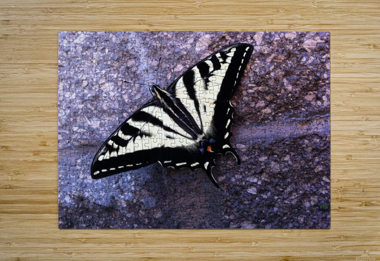 Swallowtail on Stone Wall  HD Metal print with Floating Frame on Back