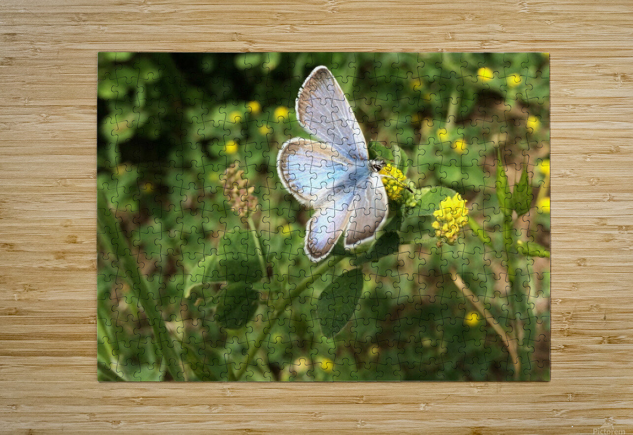 Blue Butterfly on Clover  HD Metal print with Floating Frame on Back