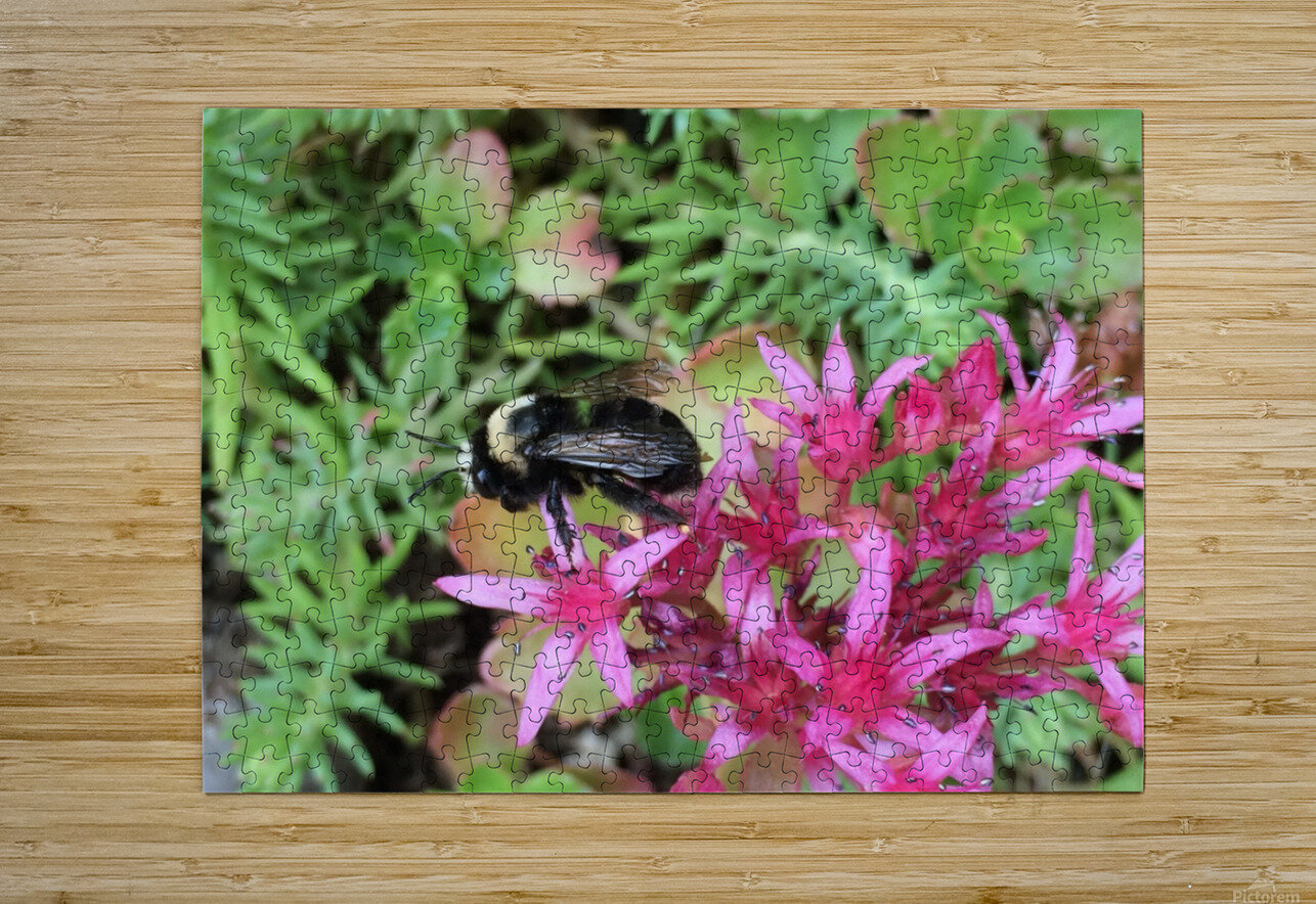 Bumblebee Visitor  HD Metal print with Floating Frame on Back