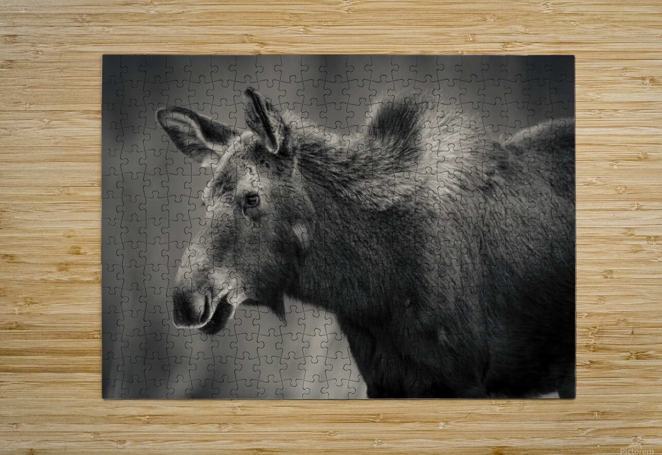 Young Moose  HD Metal print with Floating Frame on Back