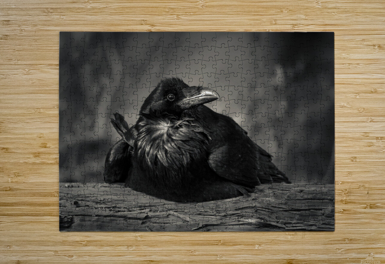 Jabba the Raven  HD Metal print with Floating Frame on Back