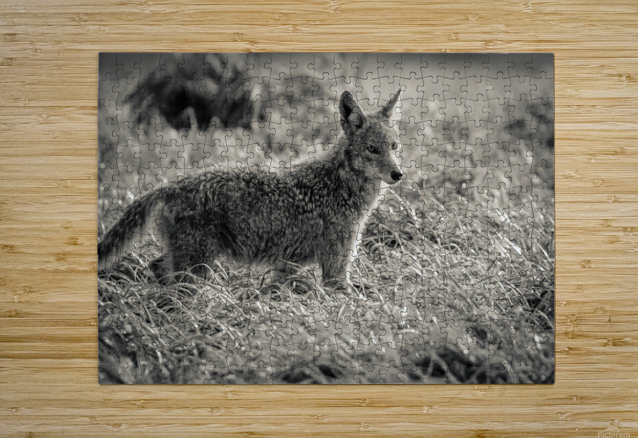 Coyote   HD Metal print with Floating Frame on Back