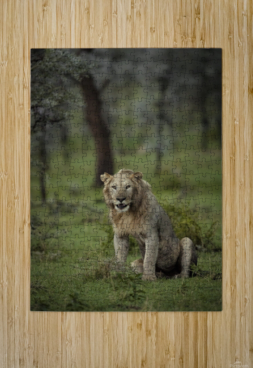 Lion under Rain by www.jadupontphoto.com  HD Metal print with Floating Frame on Back