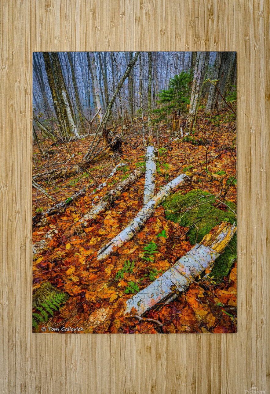 White Birch - APC-261  HD Metal print with Floating Frame on Back