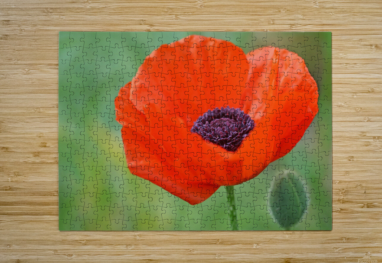 Poppy Red  HD Metal print with Floating Frame on Back