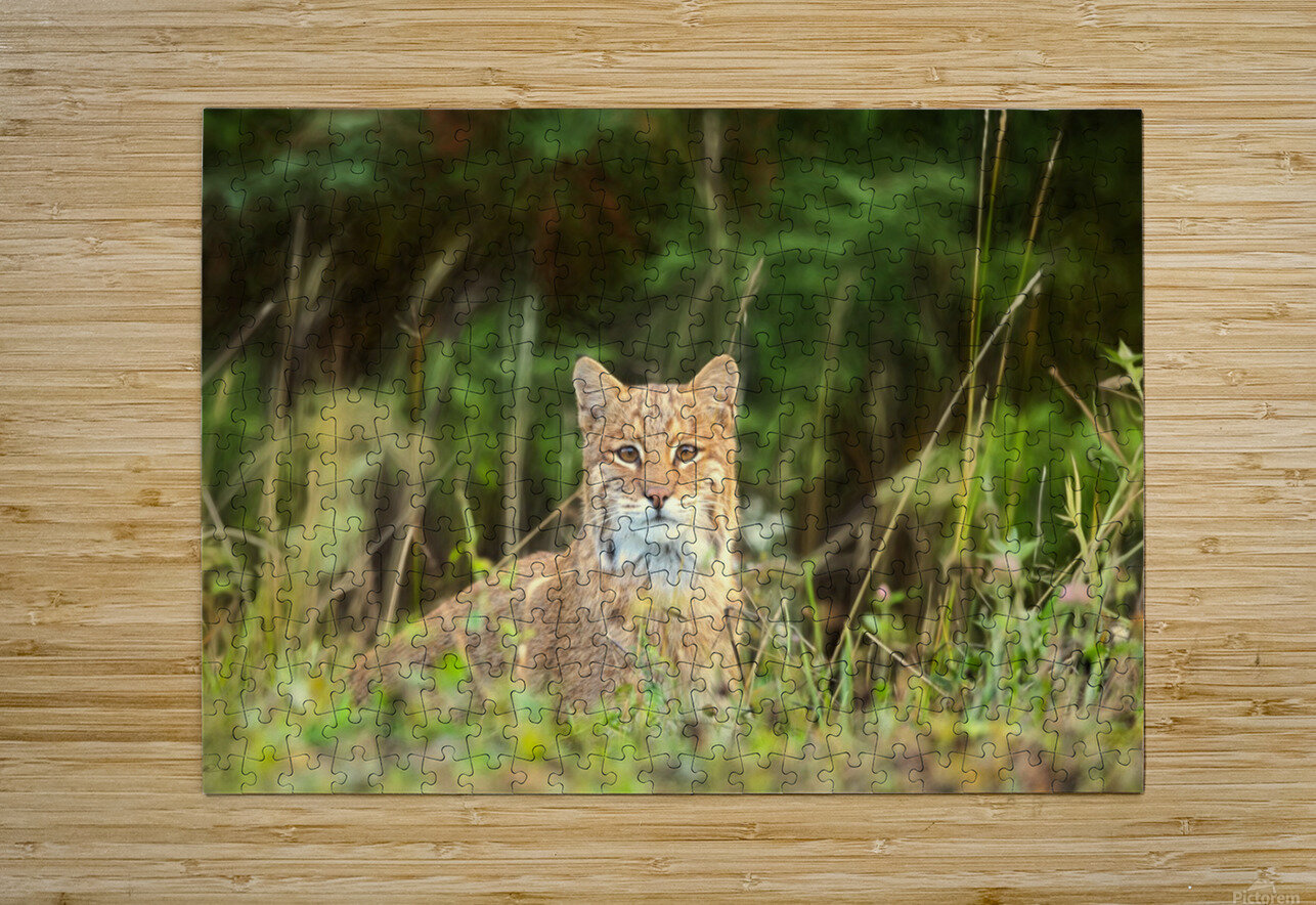 Bobcat  HD Metal print with Floating Frame on Back
