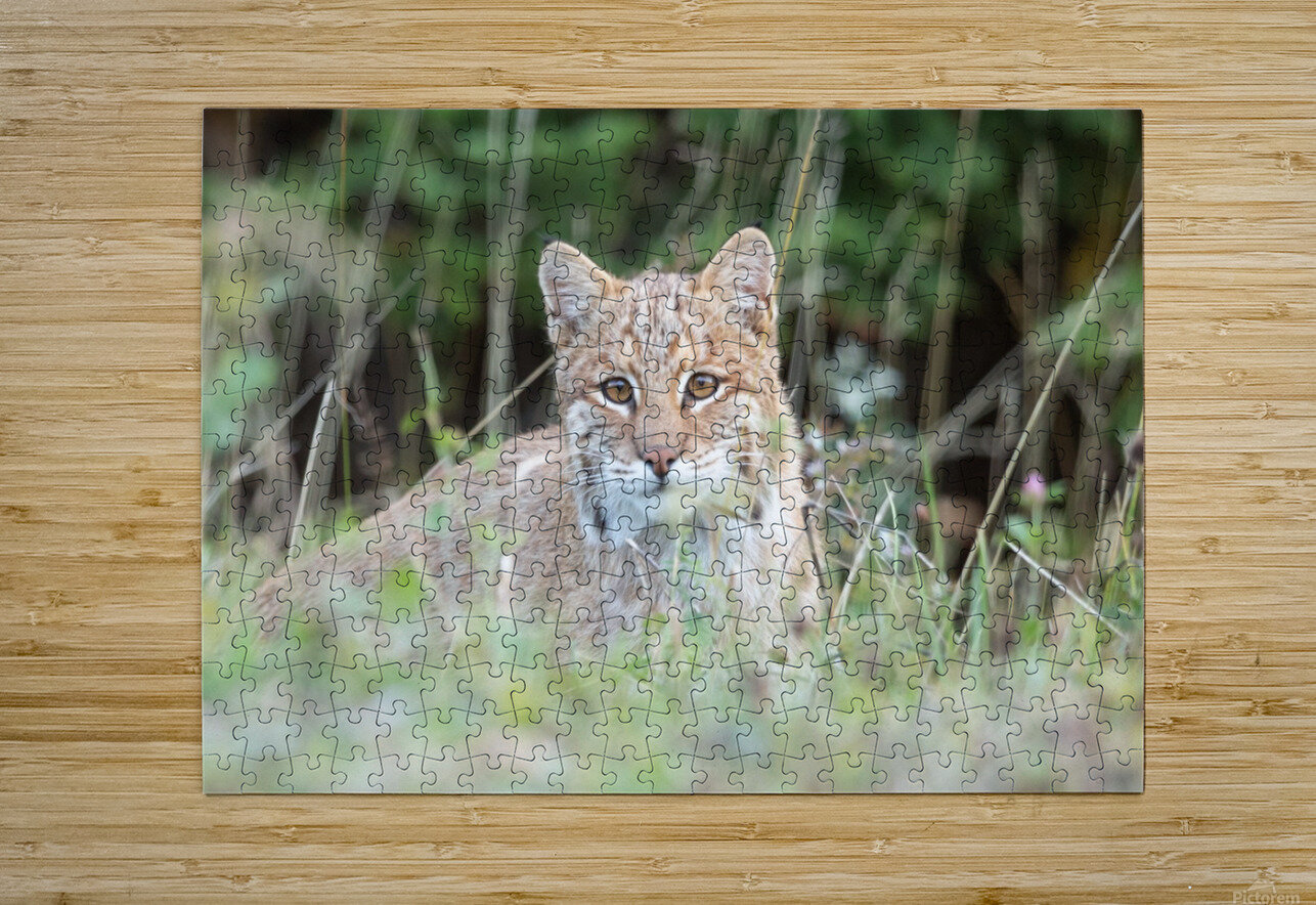 Curious Bobcat  HD Metal print with Floating Frame on Back