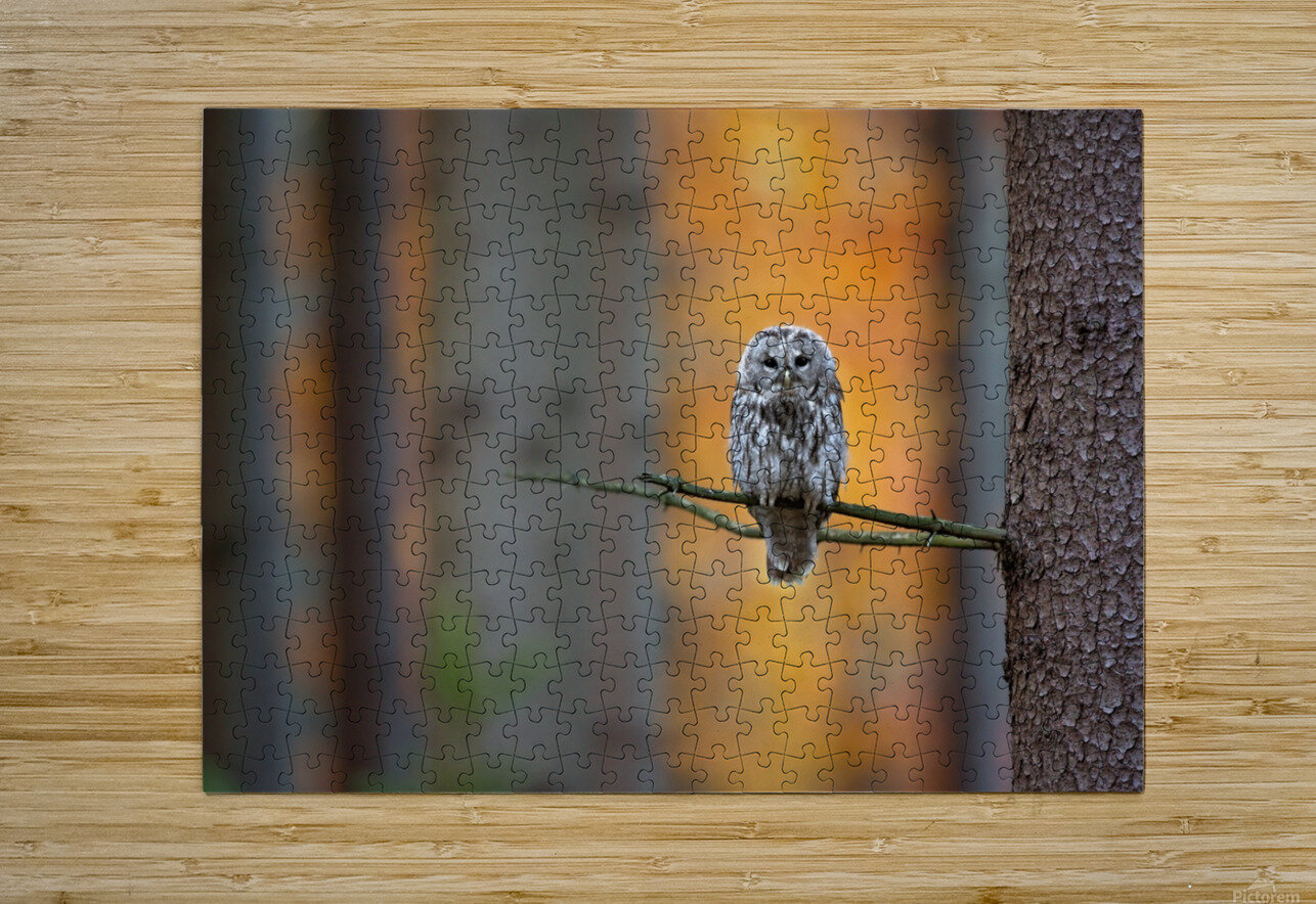 Tawny Owl  HD Metal print with Floating Frame on Back