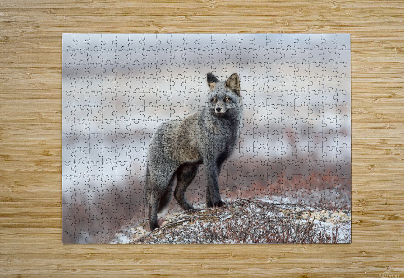 Cross Fox  HD Metal print with Floating Frame on Back