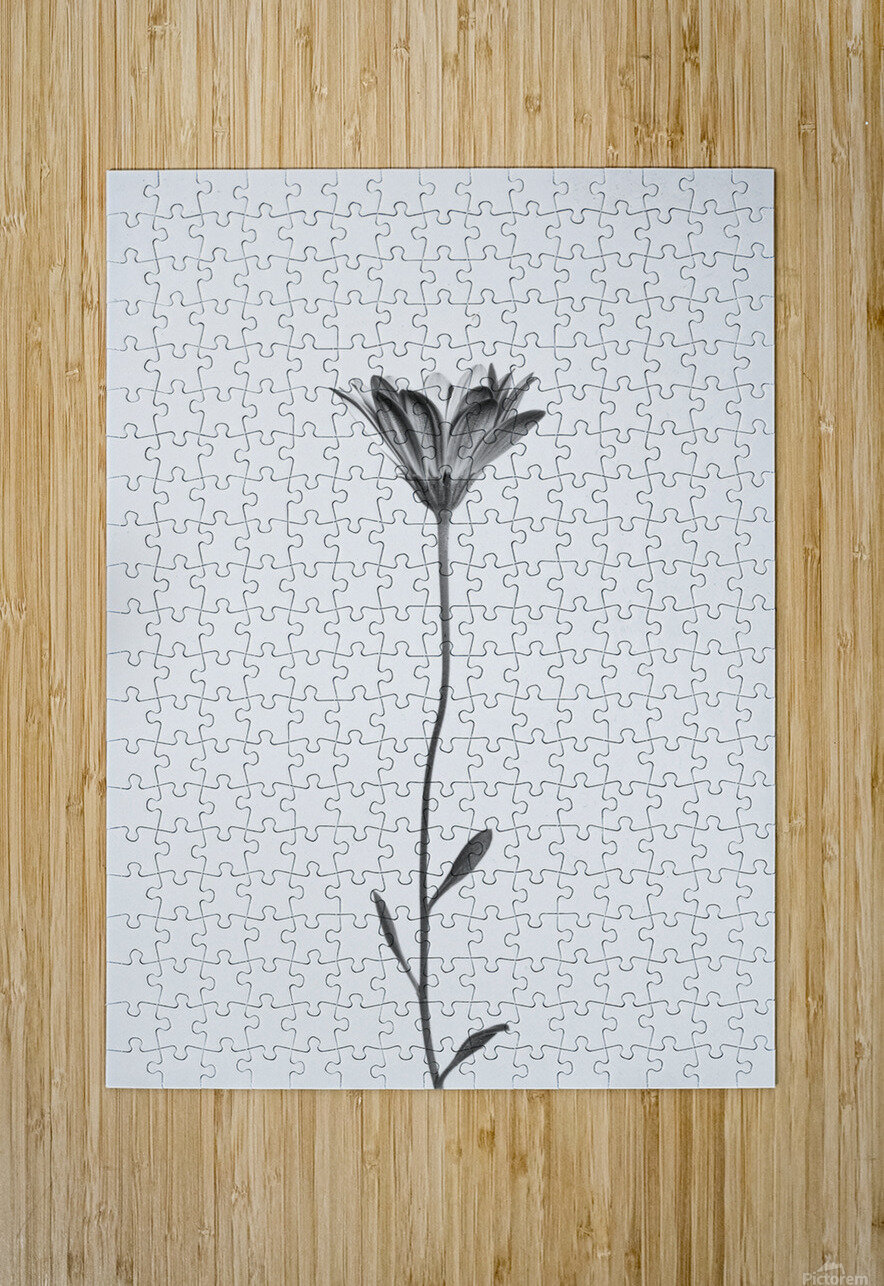 Daisy  HD Metal print with Floating Frame on Back