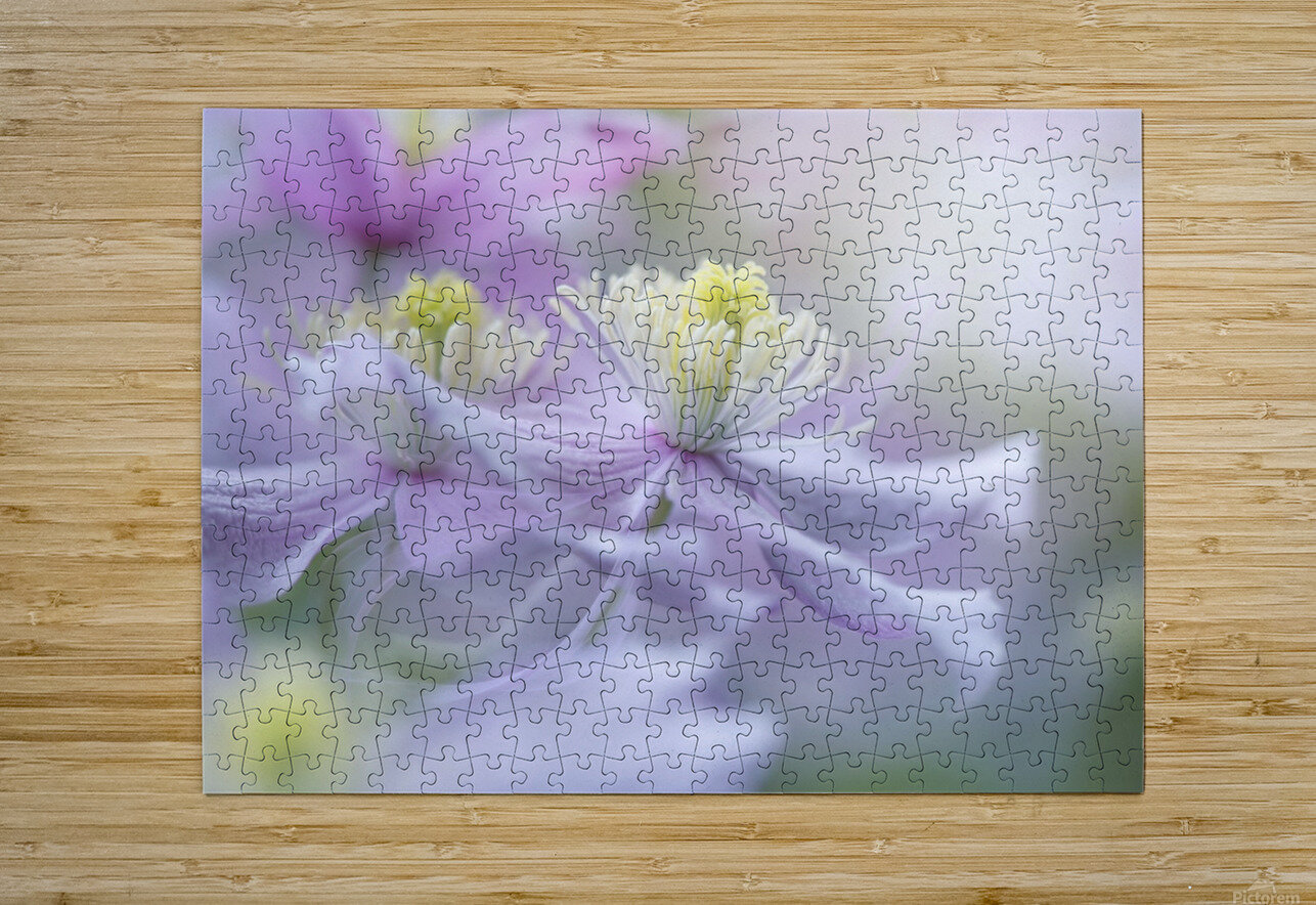 Clematis 'Mayleen'  HD Metal print with Floating Frame on Back