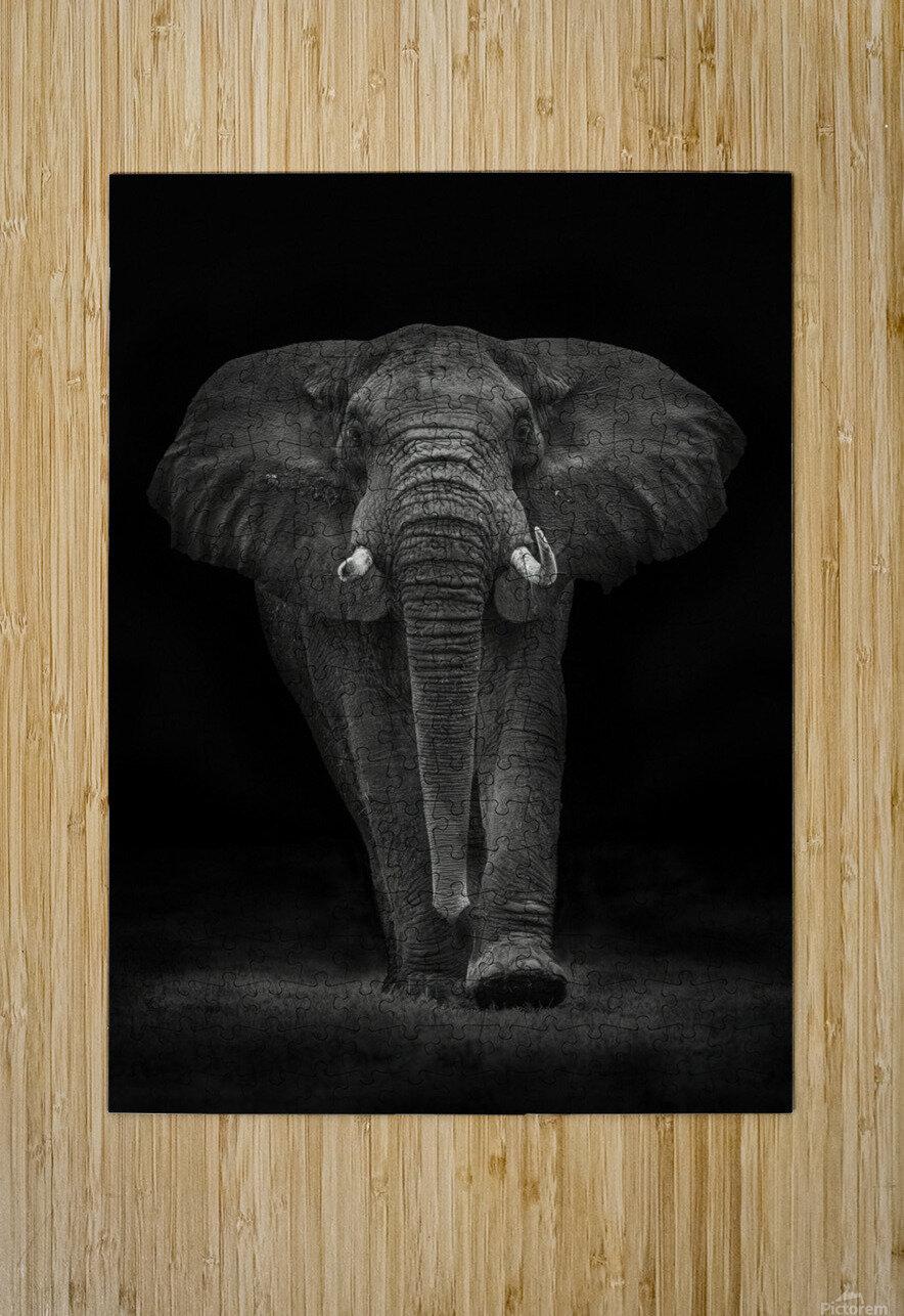 Ngorongoro Bull  HD Metal print with Floating Frame on Back