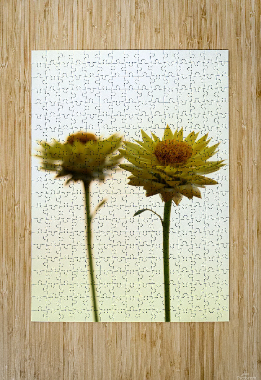 Mellow yellow  HD Metal print with Floating Frame on Back