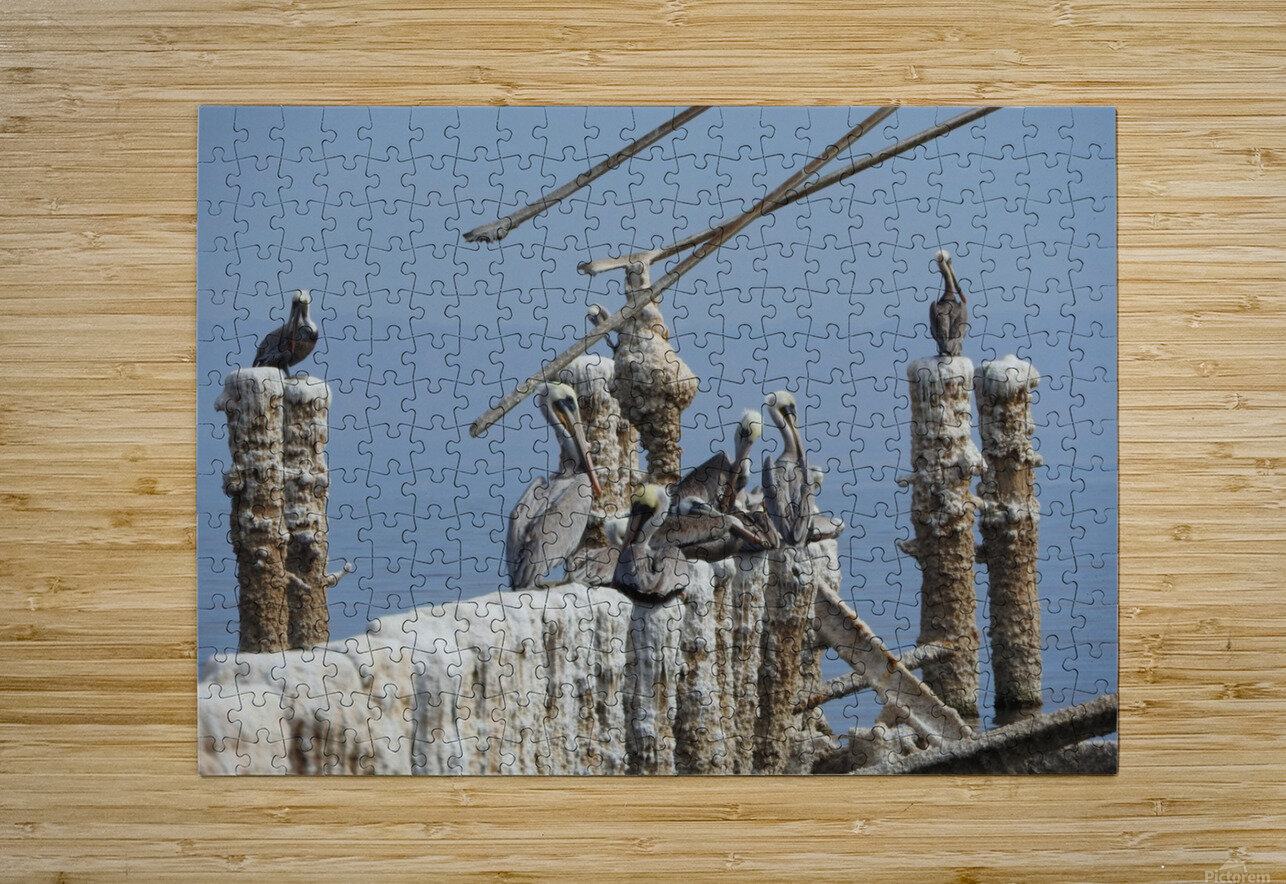 Brown Pelicans  HD Metal print with Floating Frame on Back