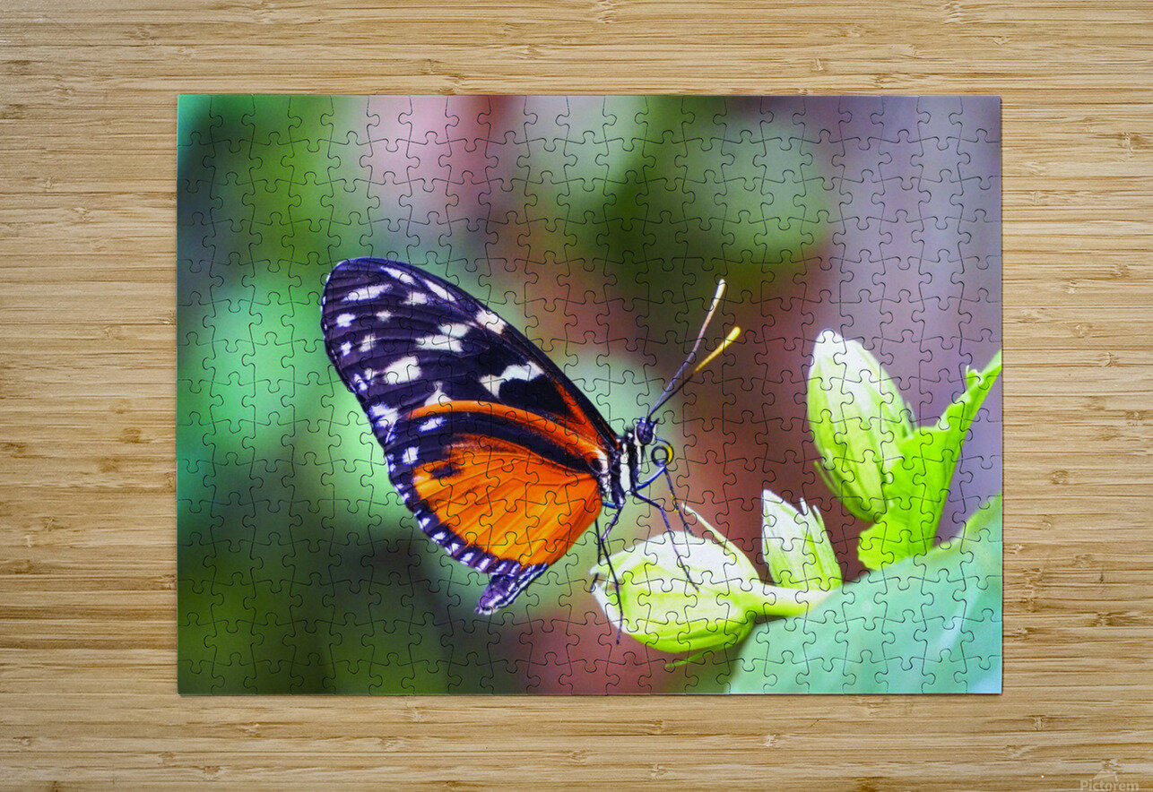 Monarch on a Bud  HD Metal print with Floating Frame on Back