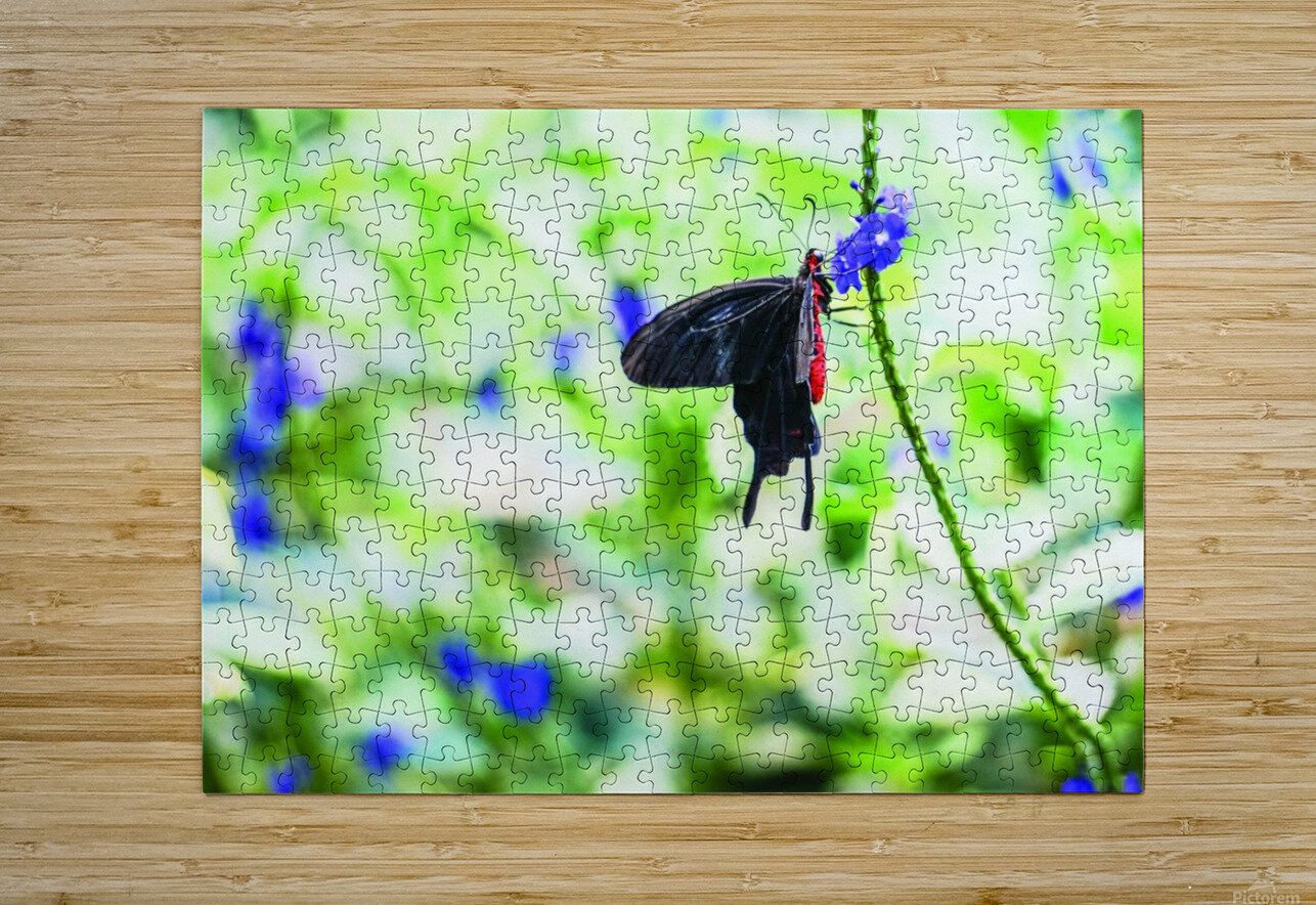 Black & Red Butterfly  HD Metal print with Floating Frame on Back
