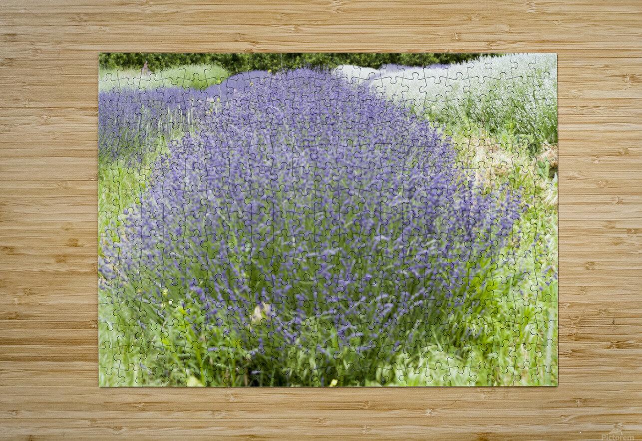 Lavender plants 1  HD Metal print with Floating Frame on Back