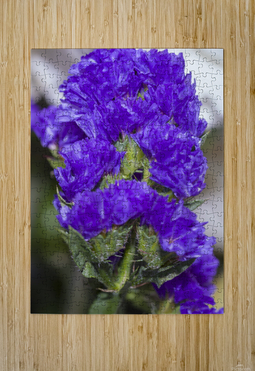 Purple Statice Flower  HD Metal print with Floating Frame on Back